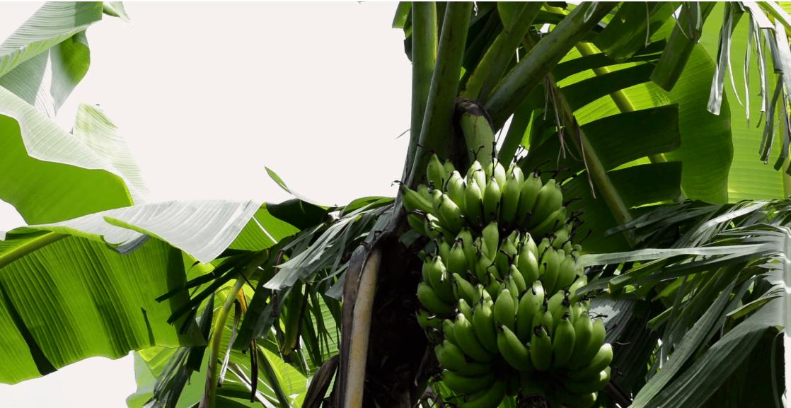 vamos banana poster image